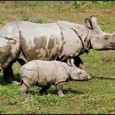 Oct. 2011– With fewer than 50 left in the wild, researchers believe this endangered species of Rhino only exists in a small section of the Indonesian island of Java. In...