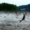 April 2012– Asian carp don't visit to share knowledge, but THE LAST COLUMNIST shares this Asian carp research paper written at Wayne State University in Detroit. This report covers political,...